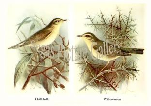 Chiffchaff & Willow-Wren